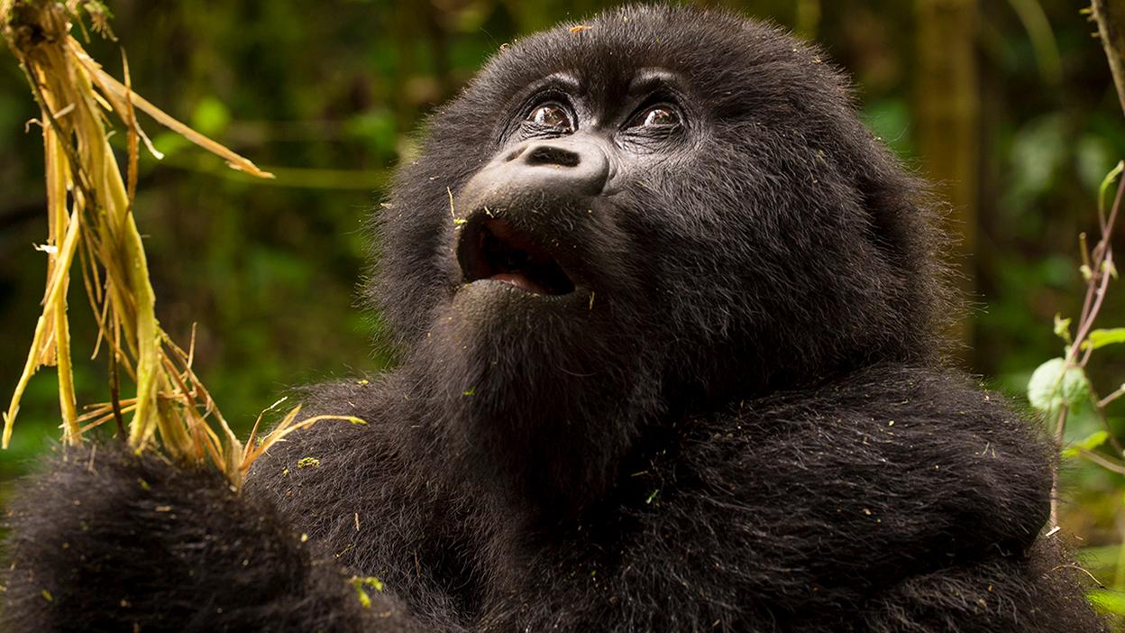 Gorillas Rwanda Intro Africa