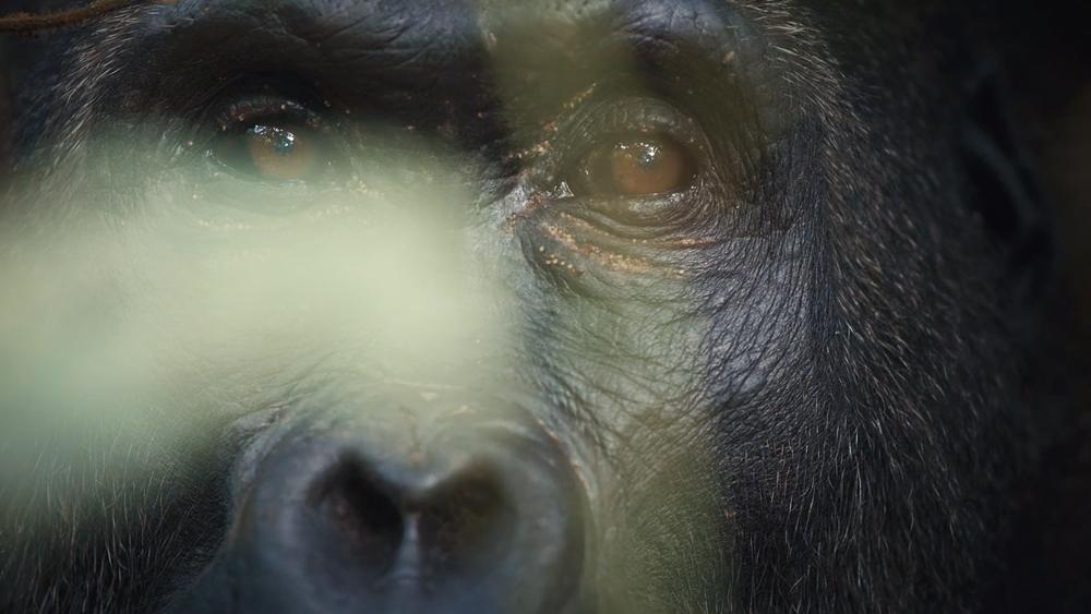I am Congo Intro Africa Gorilla